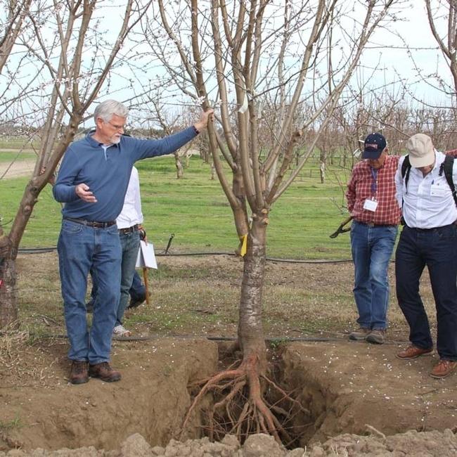 Ted DeJong examina la estructura de la raíz de un árbol ya establecido.
