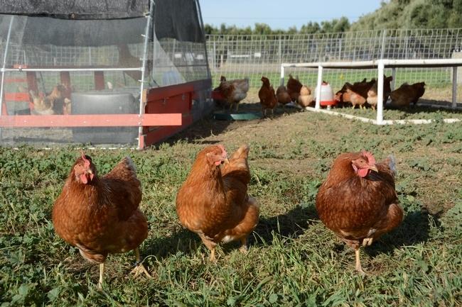 Gallinas ponedoras en la granja de aves de corral de UC. Fotografía: Trina Wood.