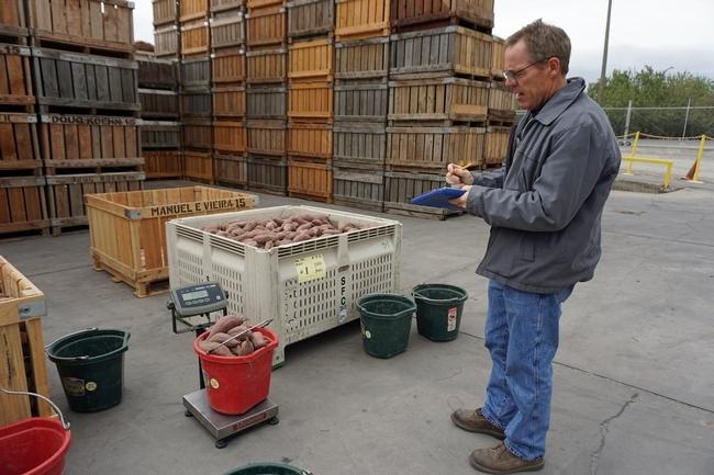 Scott Stoddard pesa varios camotes como parte del proceso de evaluación de las diferentes variedades.