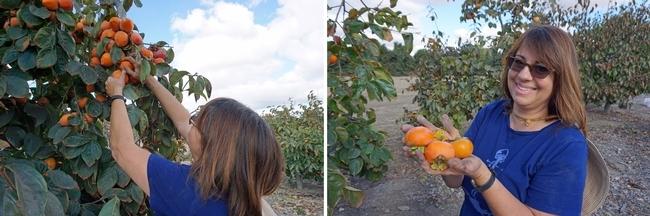 Shirley Salado, supervisora del Programa Ampliado de Educación sobre Alimentos y Nutrición de Extensión Cooperativa de la UC, en el condado de San Diego, asistió al recorrido para recoger persimos e información sobre esta fruta saludable.