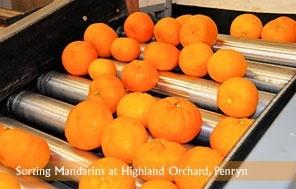 Clasificación de mandarinas en la granja Highland, en Penryn.