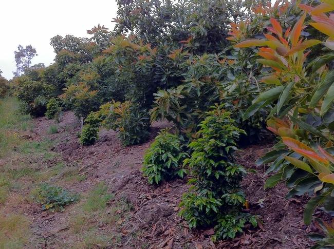 Las plantas de café inter plantadas en huertas de aguacates no requieren de espacio, agua o fertilizantes adicionales.