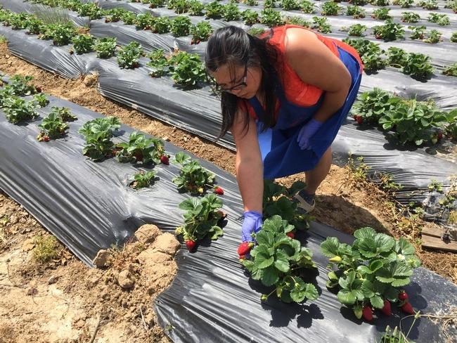 """Fam Lee examina las plantas de fresas en busca del daño causado por insectos y babosas.  """"Aun cuando no somos granjeros orgánicos, siempre hemos querido serlo"""", dijo."""
