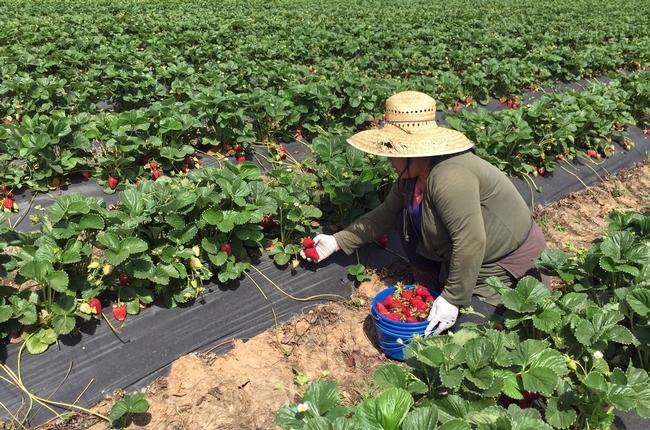 Mouang Saetern cosecha las fresas.