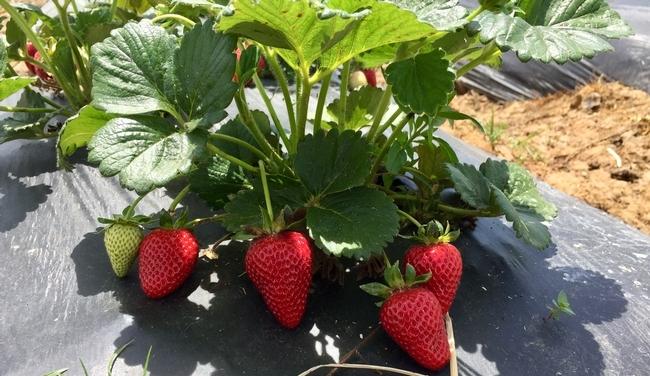 La variedad de fresa albion patentada por UC produce fresas grandes y dulces.