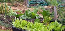 Una alternativa a plantar semillas es comprar plántulas de verduras en el vivero local. for Blog de Alimentos Blog