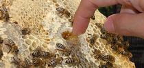 Una probadita de miel: metiendo los dedos en un panal. (Fotografía de Kathy Keatley Garvey) for Blog de Alimentos Blog