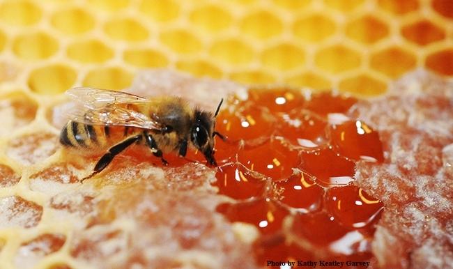 Una abeja melífera succiona miel de un panal. (Fotografía de Kathy Keatley Garvey)