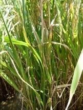 Tizón de la vaina en el arroz.