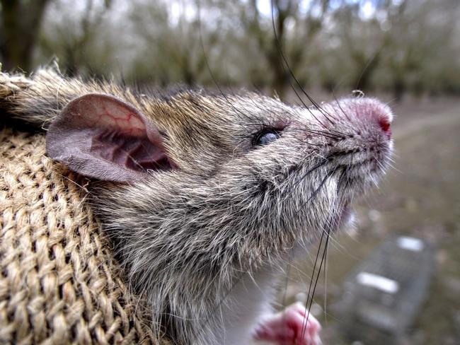 Las ratas de techo son una especie introducida en California