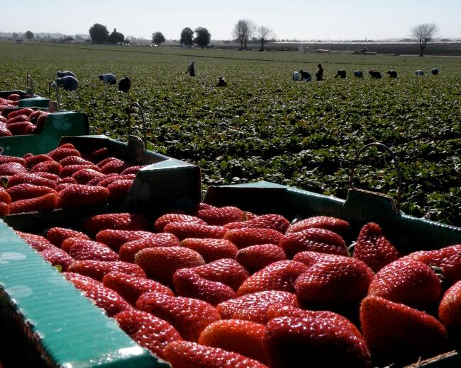 El distanciamiento social incrementa el costo de la cosecha de fresas ya que una mayor separación entre los trabajadores retrasa la pizca.