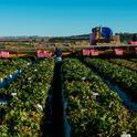 A los empleadores agrícolas se les pide que compartan estrategias exitosas, así como desafíos a los que se han enfrentado al proteger a los empleados del COVID-19. Fotografía por Héctor Amezcua.