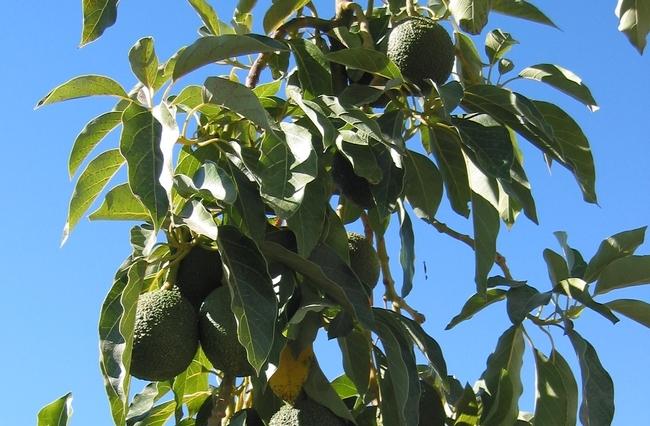 """Pies de grabado Los aguacates cuelgan de un árbol en el Centro de Investigación y Extensión de la Costa Sur de UC. """"Los consumidores que buscan los beneficios a la salud del aceite de aguacate merecen obtener lo que piensan que están comprando"""", indicó Selina Wang"""