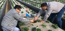 Tapan Pathak (izq) y Mahesh Maskey en un campo de fresas en el 2018. Trabajando con Surendra Dara, han desarrollado un modelo para pronosticar producciones semanales de cultivos basadas en la información climática. for Blog de Alimentos Blog