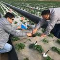 Tapan Pathak (izq) y Mahesh Maskey en un campo de fresas en el 2018. Trabajando con Surendra Dara, han desarrollado un modelo para pronosticar producciones semanales de cultivos basadas en la información climática.
