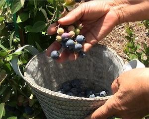 Handpicking blueberries