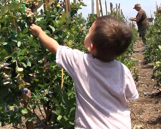 Child picking blueberries