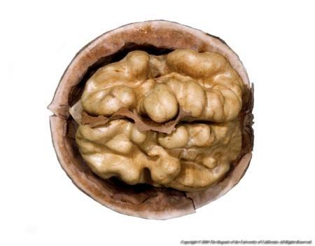Las nueces de castilla son un importante fuente de ácidos grasos omega-3.