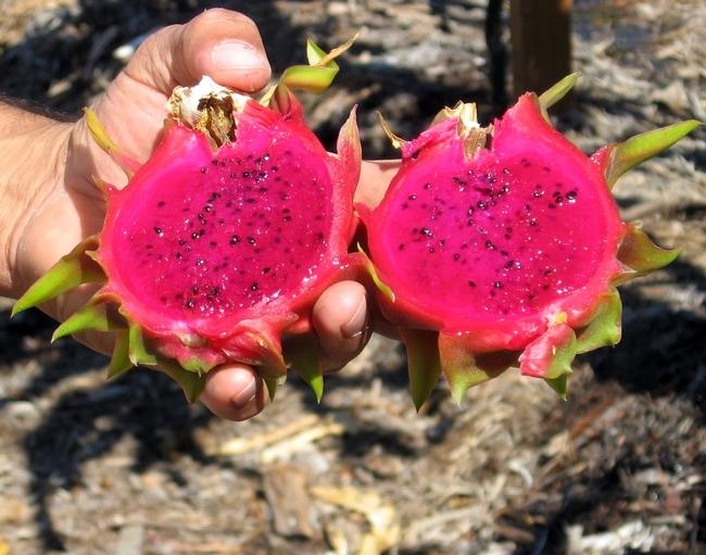 La pitaya por dentro. (Foto por hermain Hardesty)