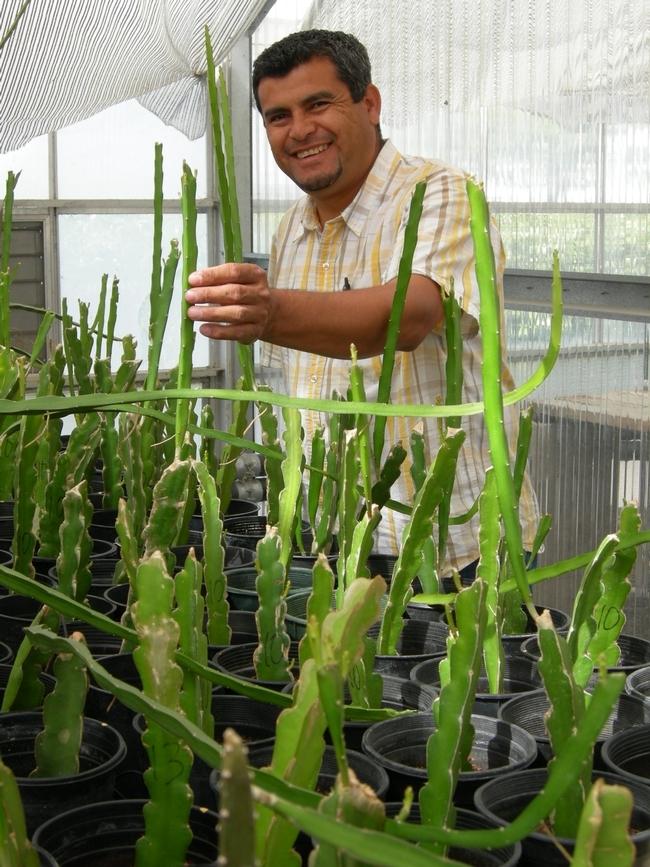 Ramiro Lobo muestra una planta de pitaya en un invernadero. (Foto por Marita Cantwell)