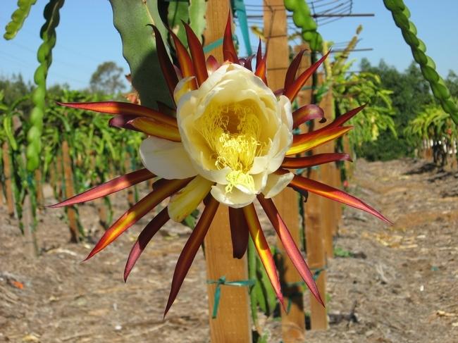 Una planta de pitaya florece en el Centro de Investigación y Extensión de UC para la Costa Oeste. (Foto por Shermain Hardesty)