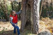 UCCE forest and fire advisor Kate Wilkin examines a tree with an old fire scar.