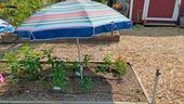 A patio umbrella can be used to shade plants during a heat wave. (Photo: Wendy Powers)