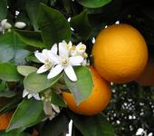 Kern County citrus fruit were not impacted by the early October storm system in California.