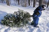 Smart harvest of Christmas trees can help thin the forest. (Photo: USDA)