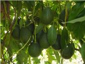 GEM avocados are tear-drop shaped.