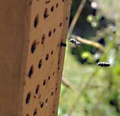 Leafcutter bees fly to their hive. (Photo: Kathy Keatley Garvey)