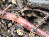 A red wiggler worm moves through substrate during composting process. (Photo: Holger Casselmann, Wikimedia Commons)