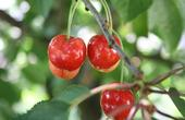 Bing cherries need about 1,000 hours under 45 degrees for healthy dormancy, a level that they are achieving less frequently due to climate change.