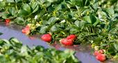 Complying with social-distancing protocols to prevent coronavirus spread will likely slow the strawberry harvest in California. (Photo: Evett Kilmartin)