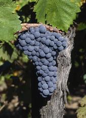 The UC Davis Zinfandel Heritage Vineyard at Oakville Station is a vibrant museum of the zinfandel grape.