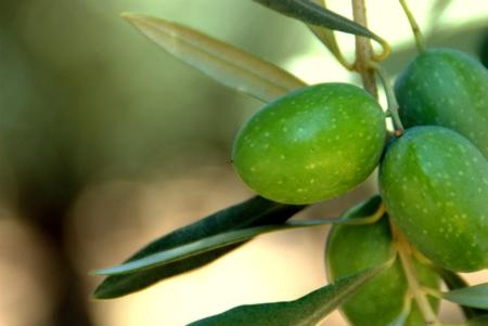 Manzanillo olives photographed in Glenn County by student assistant Luke Kinney Milliron.