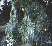 A citrus tree that was coated with water for frost protection.