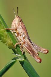 Young grasshopper on grass stalk. (Photo: Wikimedia Commons)