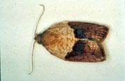 Light brown apple moth.
