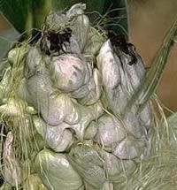 Common corn smut.