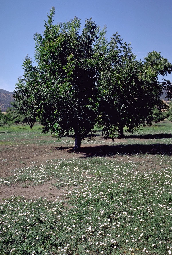 Bindweed, growing in the foreground, is difficult for organic growers to control.