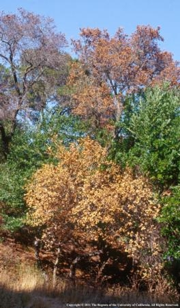 An increased in sudden oak death in the Bay Area is believed to be caused by two years of high rainfall followed by the past dry winter.