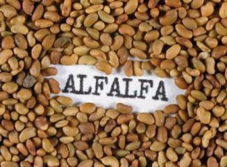 Alfalfa seed.