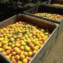 Cling peaches.