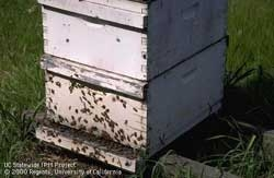 Worker bees congregate on a hive.