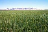 Sutter Buttes is in the distance behind this Colusa County rice crop.