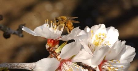 A honey bee on an almond blossom. (Photo: Kathy Keatley Garvey)