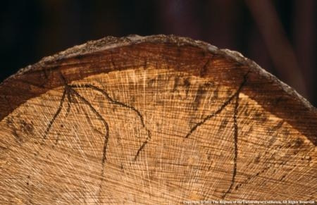 In this cross-section of a coast live oak killed by sudden oak death, the black-stained tunnels of adult ambrosia beetles can be seen extending into the wood.