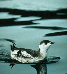 Marbled murrelet (Photo: Wikimedia Commons)