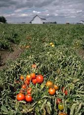 Farmers are seeing a higher than usual amount of curly top virus infection in Fresno area processing tomatoes this year.